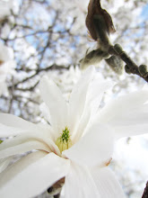 Photo: Brilliant white magnolia under a bright sky at Cox Arboretum in Dayton, Ohio.