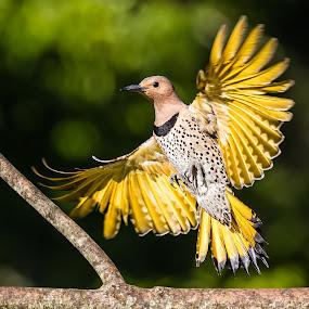Northern Flicker Landing by Carl Albro - Animals Birds ( bird, flying, woodpeckers, northern flicker, bif,  )