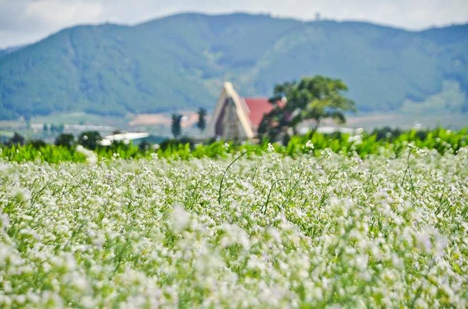 Tháng 12 là mùa hoa cải trắng nở rộ ở Đà Lạt