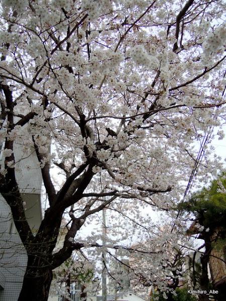 Photo: 近所の桜。満開です~(^^
