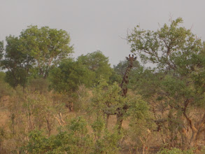 Photo: Another giraffe hiding in the trees