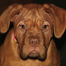 Maggie by Chrissie Barrow - Animals - Dogs Portraits ( tan, ears, fur, puppy, dogue de bordeaux, portrait, dog, pet )