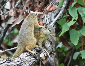 Photo: Kruger NP - Tree Squirrels