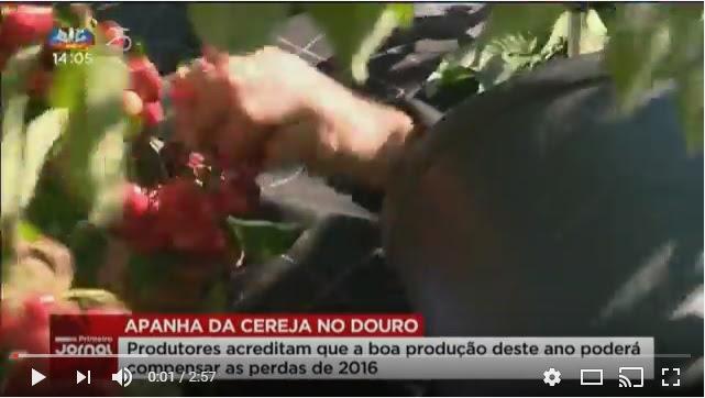 Vídeo - Produtores de cereja confiantes em boa colheita