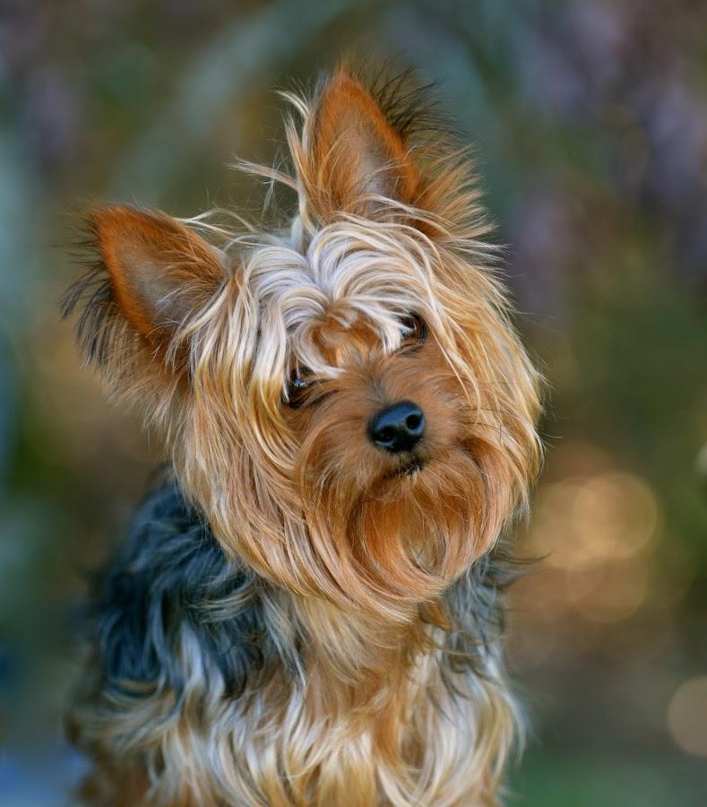 My Buddy by Sandra Millsap - Animals - Dogs Portraits ( yorkie, pet, dog, portrait )