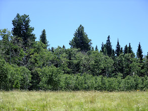 Photo: Two ages of aspens in this grove. Aspens are clonal, so these are probably all the same genetic individual