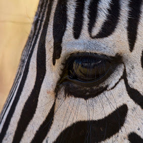 I'm watching you by Tony Wilson - Animals Other ( zebra )