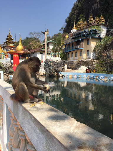 A baboon eating on the edge of a water pool outside a temple.
