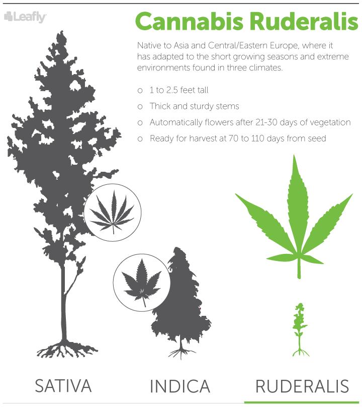 Cannabis Ruderalis, Sativa, Indica