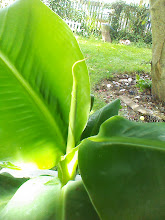 Photo: Second Leaf roll emerging from center stem 7-29-2013