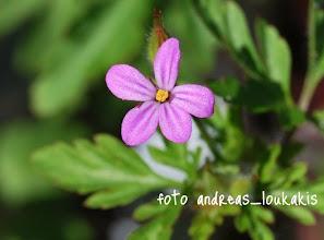 Photo: Geranium robertianum Είναι μονοετές φυτό που φτάνει σε ύψος τα 50-60 εκ. Πολύ κοινό φυτό στην Ελλάδα, φύεται πολύ και ως καλλωπιστικό φυτό. Είναι φυτό διετές και τα άνθη του είναι μωβ, κόκκινα ή μωβ-κόκκινα και ο κορμός του χνουδωτός. Όλο το φυτό (σπανιότερα οι ρίζες του) χρησιμοποιείται στην φαρμακευτική. Είναι στυπτικό, αντιαιμοραγικόκαι διουρητικό. Έχει έντονη, δυσάρεστη μυρωδιά.