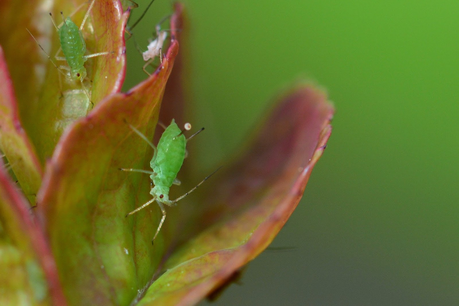 Aphids on leaves
