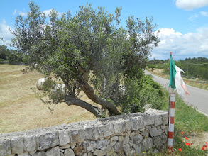 Photo: Olive tree, stone wall, so typically of what you see in this part of Italy. The stone walls dotting the countryside are really very beautiful.