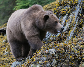 Photo: Grizzly walking along the shore