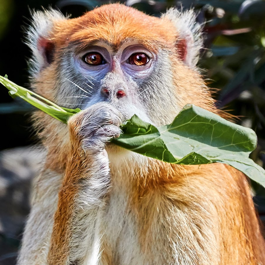 Primate 99991 by Raphael RaCcoon - Animals Other Mammals
