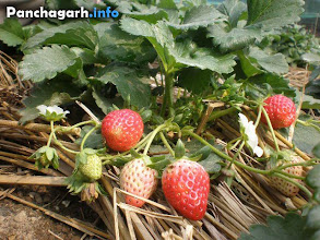 Photo: Strawberry cultivation in Panchagarh
