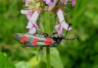 Photo: Zygaena filipendulae    Lepidoptera > Zygaenidae