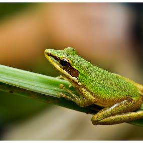 Frog by Joydeep Sen Chaudhuri - Animals Amphibians ( water, frog, green, amphibian, rainforest )