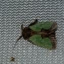 Spiny oak slugs moth