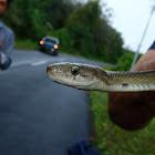 Sunda Rat Snake