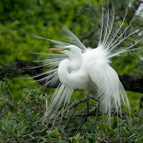 Great Egret by Wil Domke - Animals Birds ( bird, florida, wildlife, egret, great egret )