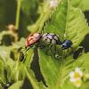 Maria-Fedida-Predadora / Predatory Stinkbug