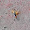 Spider wasp & spider