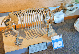 "Photo: The visitor center features some fossils of the smaller animals found on the site. The Ashfall Fossil Beds are rare fossil site types called lagerstätten that, due to extraordinary local conditions, capture a moment in time ecological ""snapshot"" in a range of well-preserved fossilized organisms. Ash from a Yellowstone hotspot eruption 10-12 million years ago created these fossilized bone beds."