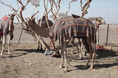 Said's Kamele