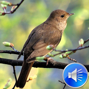 Nightingale Bird Sounds Android Apps On Google Play