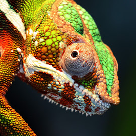 Chameleon by Bruce Arnold - Animals Reptiles (  )