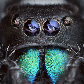 °OO° by Tomáš Celar - Animals Insects & Spiders ( canon, tomáš, regius, macro, celar, green, male, phidippus, chelicerae )