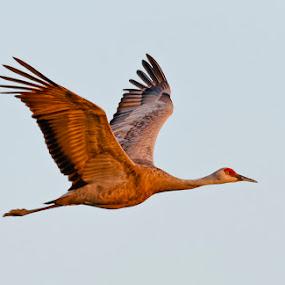 Sandhill Crane in early morning light by Rich Reynolds - Animals Birds ( bird, alaska, sandhill crane, bird photo, bird photography, bird in flight,  )