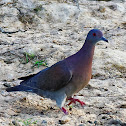 Pomba-galega (Pale-vented Pigeon)