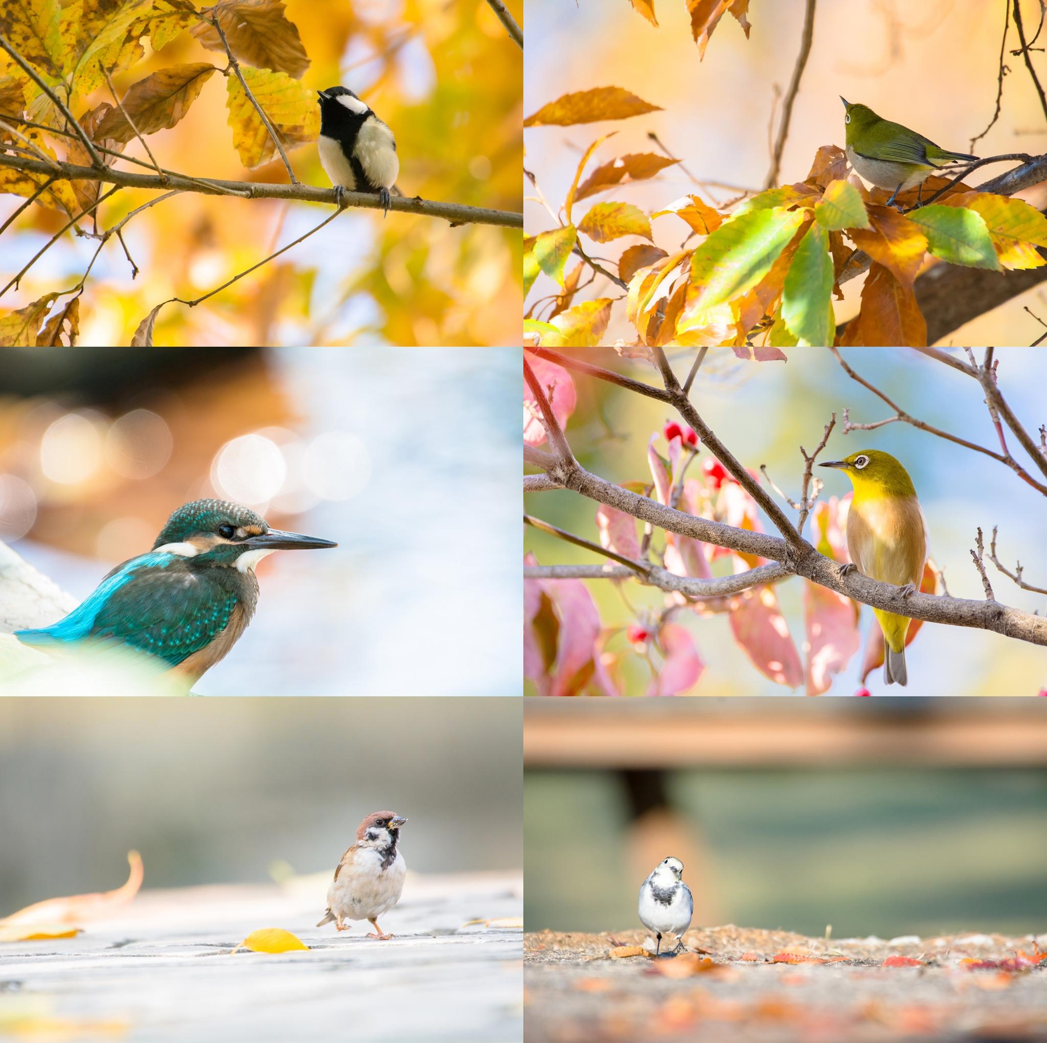 Photo: 「秋」 / Autumn.  写真展『まなざし』出展作品より 今回ご紹介させていただくのは 8つの小さなテーマの内の一つ 『秋』です。  周囲を覆っていた 葉が散っていく季節 鳥達もどこか名残惜しいような でも季節の変化が楽しいような そんな季節を過す小鳥たちのシーンから 6枚選ばせていただいています。  季節の変化を見守る小鳥たちの表情 じっくりと感じていただけたらと思います。  写真展は4日目となりました。 少し小ネタですが、 展覧会には文具メーカーの「マルマン」さんに 協賛をいただき、 今回の展示作品72点すべて このマルマンさんが取り扱っている フランスの製紙会社であるキャンソン社の キャンソンインフィニティシリーズ「バライタ」 を使用させていただいています。 ミュージアムグレードという アート作品として長期保存を可能とする素晴らしい用紙です。 ほどよいマット感に理想的な発色 私の思う色をイメージ通りに再現させてくれます。 Web上では伝えることのできない 私の頭の中でイメージする色、 じっくりと見ていただきたいと思っています。  3連休の最終日 本日もOpenの11時より終日在廊しています。 みなさんとお会いできるのを 楽しみにしてお待ちしています。  #birdphotography #birds #cooljapan #kawaii #nikon #sigma  ・大塩貴文 写真展『まなざし』 2015年11月20日[金]-29日[日] 詳細 < http://islandgallery.jp/12134 >  ・Live Talk YouTubeアーカイブ (今回の展示作品の紹介に加え詩の朗読もさせていただきました) < https://youtu.be/EIPFeUxyRwE >  ・キャンソンインフィニティ (展示作品にもちいている用紙メーカーです) < http://goo.gl/RBcGvy >