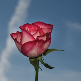 veri nice rose by LADOCKi Elvira - Flowers Single Flower ( floral, nature, plants, garden, flower )