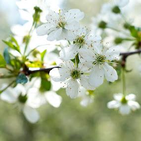 Spring Time by Michael Krivoshey - Flowers Tree Blossoms ( spring, cherry, cherry blossoms, cherry tree, warm, blossom, blossoms, blossoming, cherry blossom )