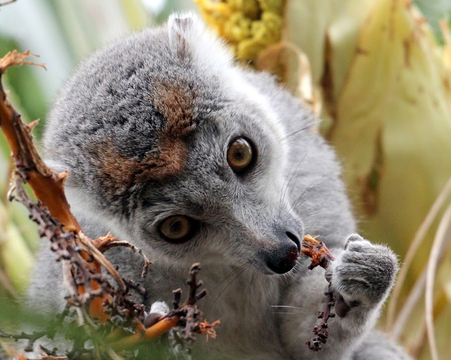 Crown Lemur by Ralph Harvey - Animals Other Mammals ( wildlife, ralph harvey, bristol zoo, animal )