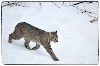 Photo: Bobcat in our backyard