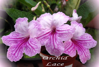 Photo: Orchid Lace