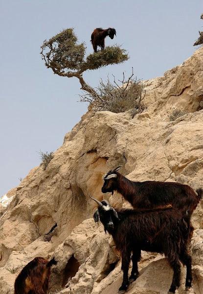 Photo: По ловкости козы вполне могут сравниться с обезьянами, а по умению балансировать, сохраняя равновесие — с кошками. Горные козы совершенно комфортно чувствуют себя, пасясь на практически отвесных скалах.