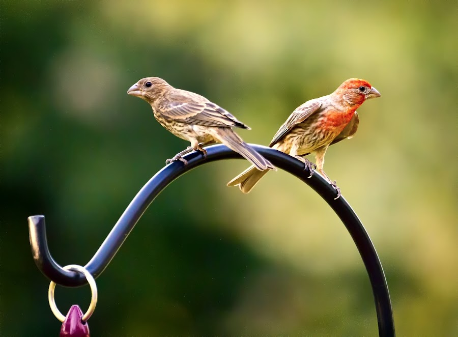 Male and Female House Finch by Linda Tiepelman - Animals Birds