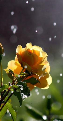 ... Rose Wallpaper HD Lock Screen ...