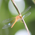 Foggy-winged Twister (Male)