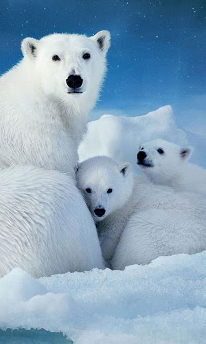 Polar Bears Wallpaper On Google Play Reviews Stats