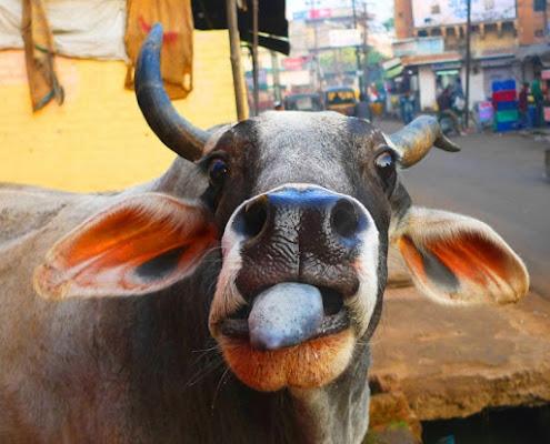 Mucche alla riscossa di alecatt