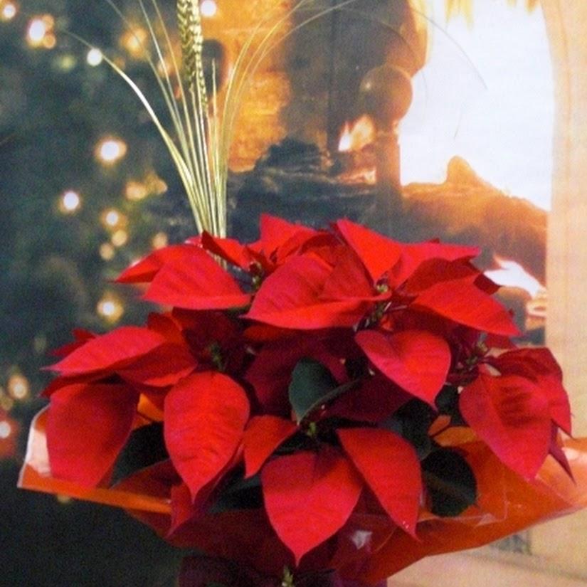 Flor de Pascua. Llega Diciembre, las flores de Navidad vuelven a casa…