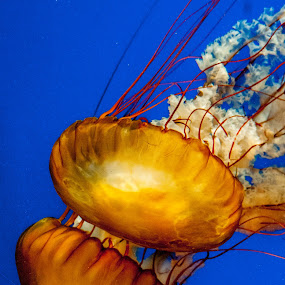 Atlanta Jellyfish 2 by Russ Crane - Animals Fish ( fish, aquarium, georgia, atlanta, jellyfish )