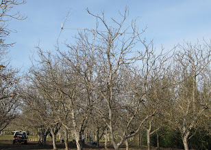 Photo: Look what is sprouting out of N6MB's walnut orchard! It must be Spring time when a man's thoughts turn to antennas.