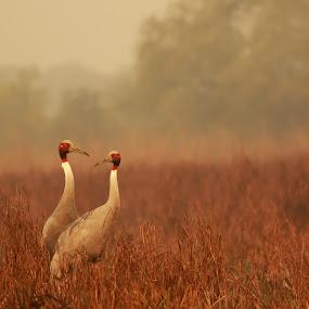 Cranes by Saumitra Shukla - Animals Birds ( bird, sarus, cranes, neck, wildlife, beauty, travel, long, golden hour,  )